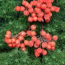 Dzika róża oszroniona POMARAŃCZOWA podwójna gałązka 40 owoców